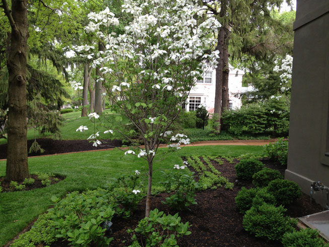 A white dogwood in bloom in a garden designed by Tennant Lawn Service