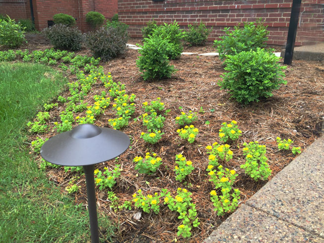 yellow annuals in a landscaping bed designed by Tennant Lawn Service in St. Louis